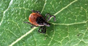 zoomed up photo of tick on green leaf
